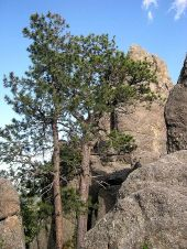 Pinus_ponderosa_scopulorum_Custer_State_Park_SD