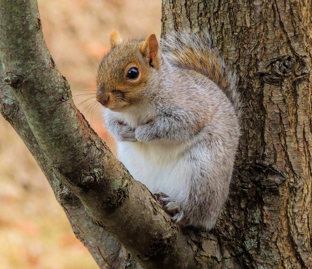 treesquirrel-2 (1000x864)