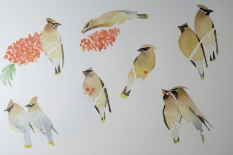 cedar waxwing progression a