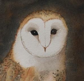barn owl, november 2017 a